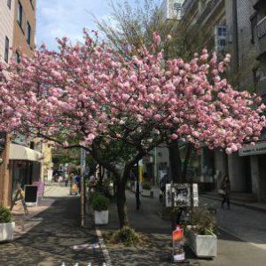 東京 自由が丘 八重桜